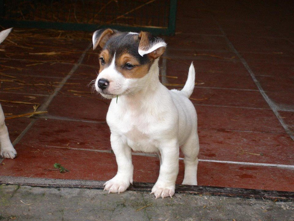 Timeline Photos Jack Russell Usa Jack Russell Jack Russell Terrier Cute Dogs