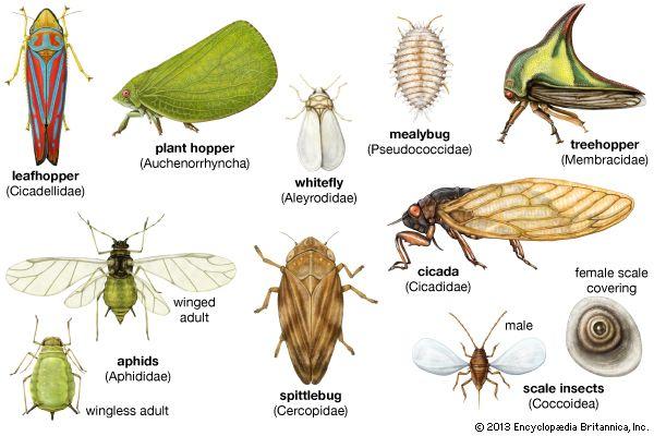 homopteran   insect order   Britannica.com   Z. Identify ...