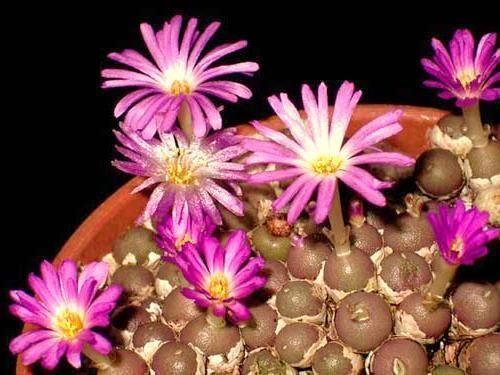 Frithia pulchra rare cactus mesembs cacti seed 15 SEEDS