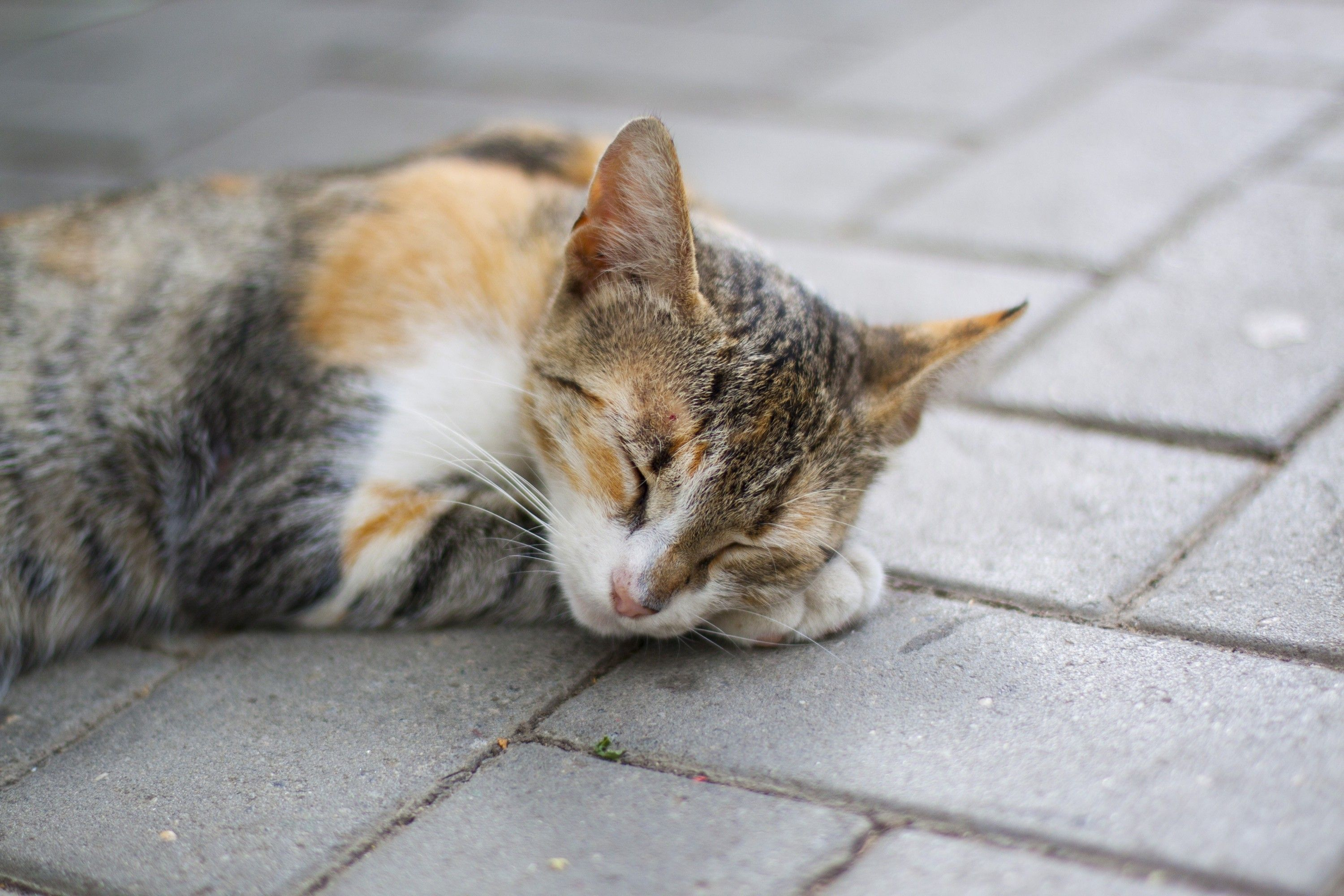 American Wirehair Cat Sleeping on Sidewalk | Cats Free Stock Photos ...