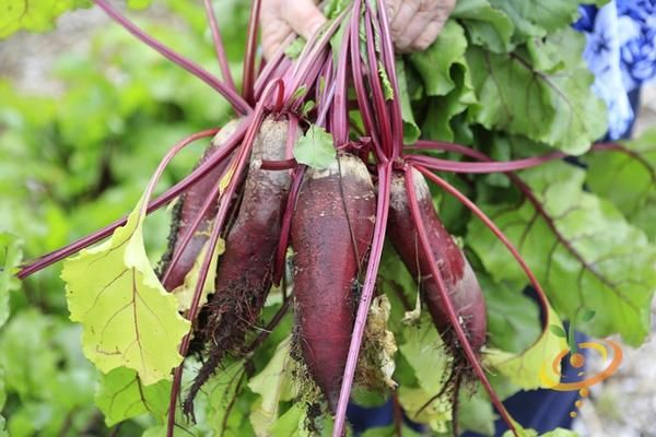 19 Frost Hardy Vegetables To Plant This Fall Beet Seeds 640 x 480
