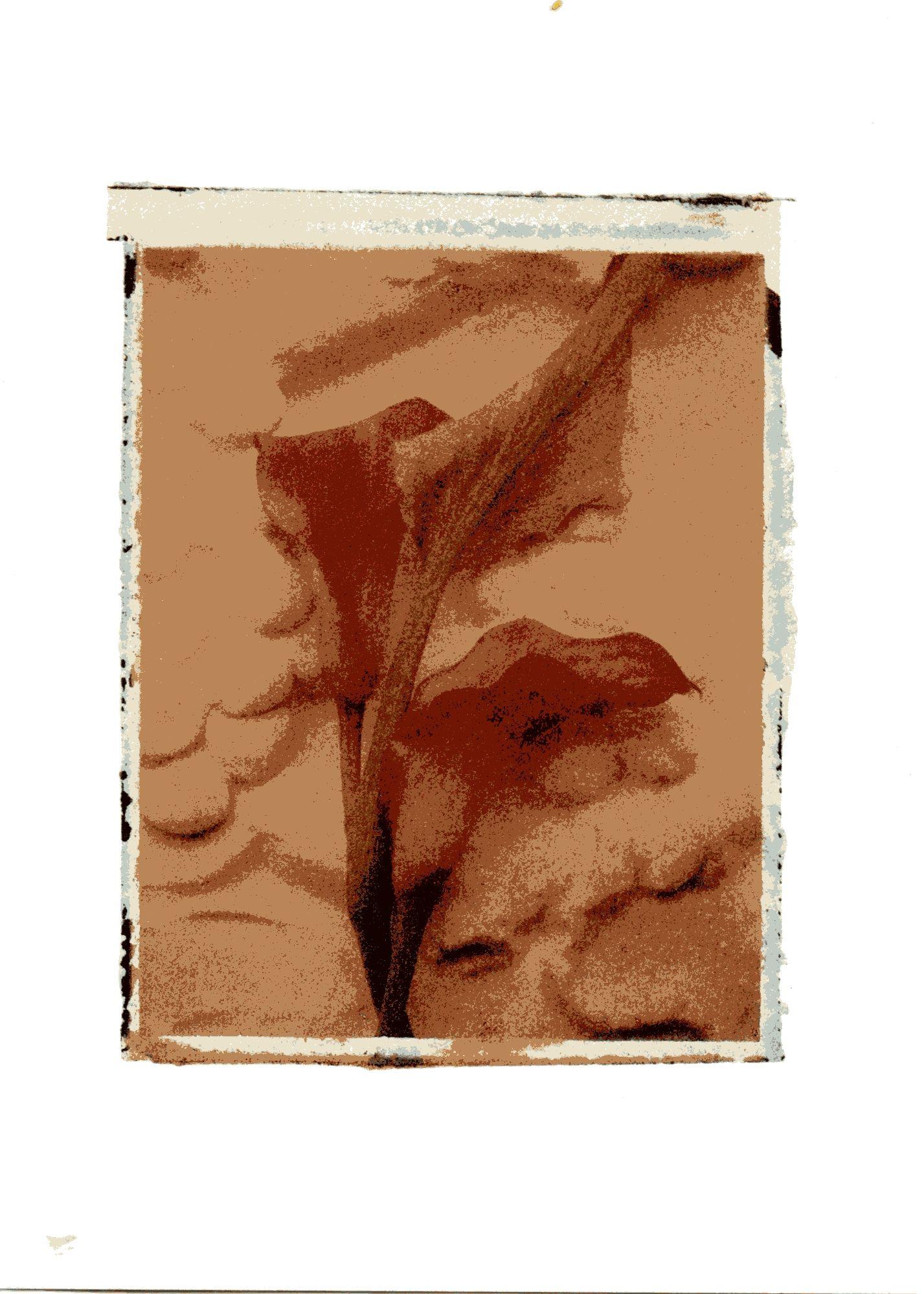 calla lilies (c) 1997 by deborah schenck.
