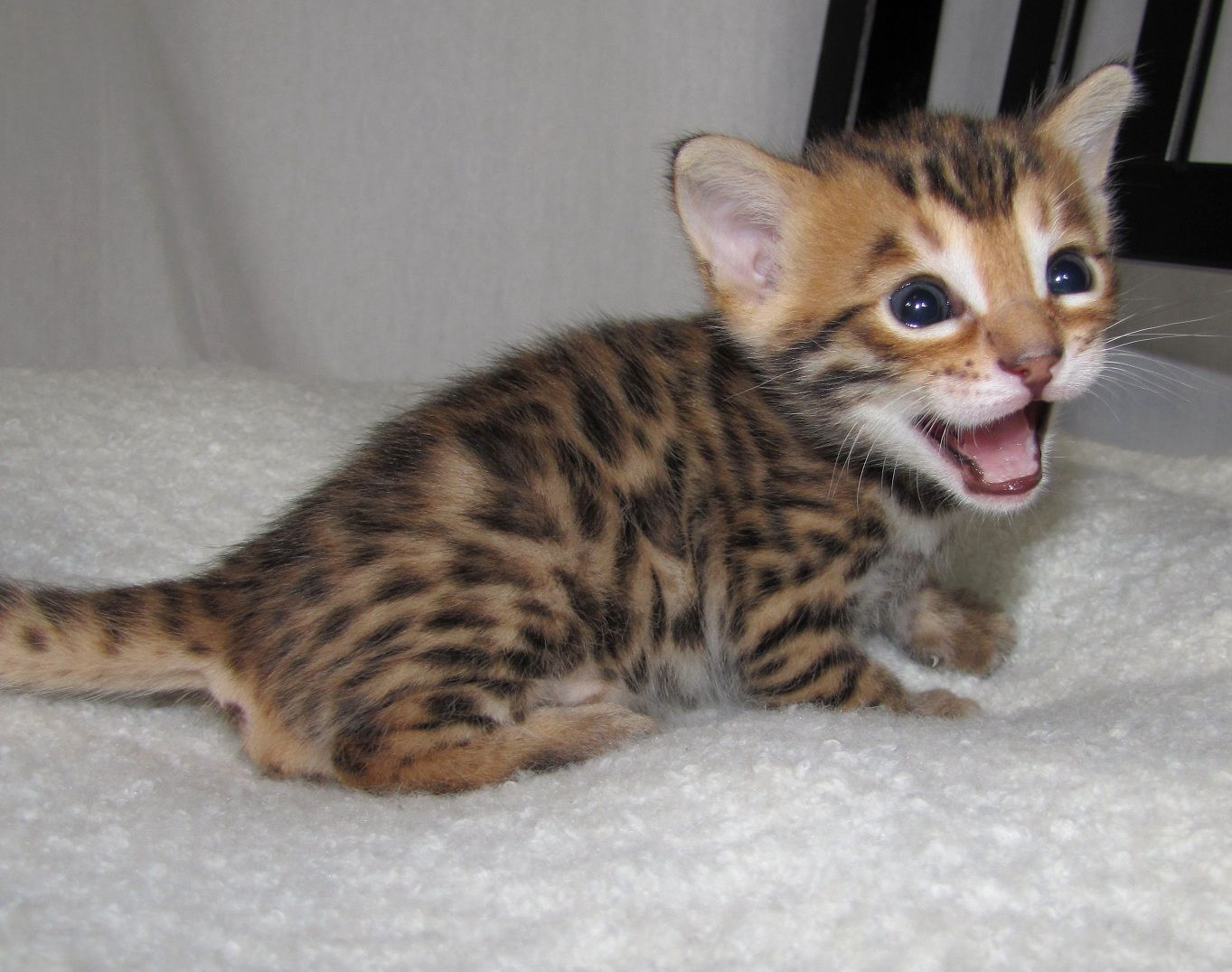 Adorable Male And Female 12 Weeks Old Bengal Kittens For Free Description From Eclassifieds4u Com I Searched For Thi Cute Animals Bengal Kitten Kitten Breeds