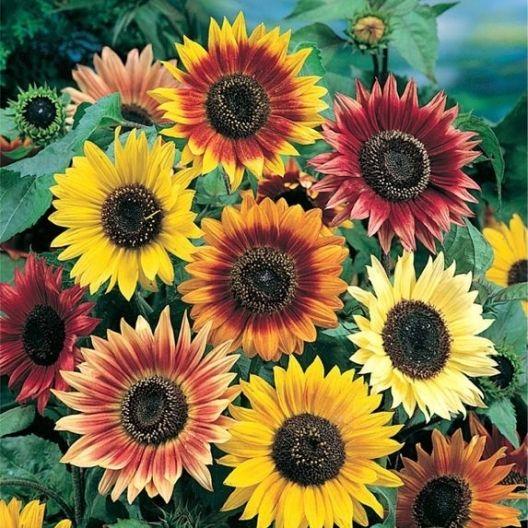 Sunflower Autumn Beauty Seeds Helianthus Annuus Planting Sunflowers Dwarf Sunflowers Red Sunflowers