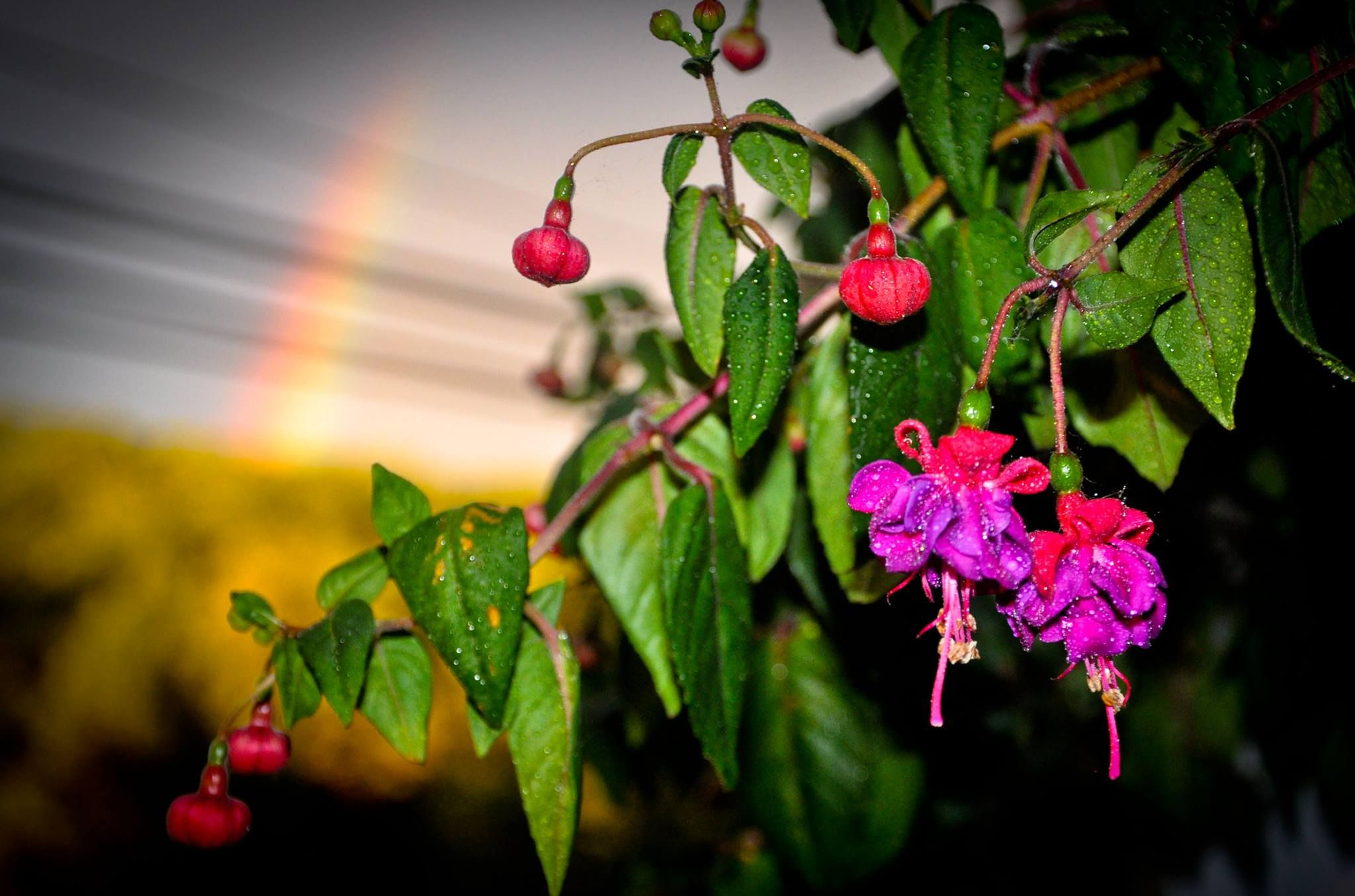 Here's a photo of my hanging fuchsia plant, with rainbow in the background.