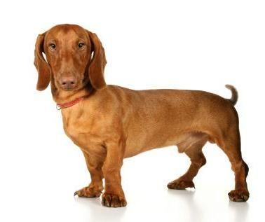 Standard Dachshund With Images Pet Breeds Standard Dachshund