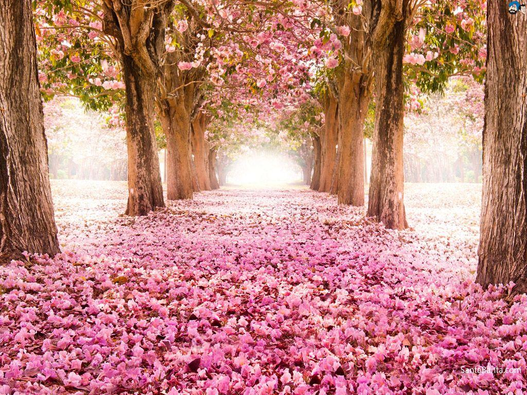 Resultado de imagem para cherry blooms