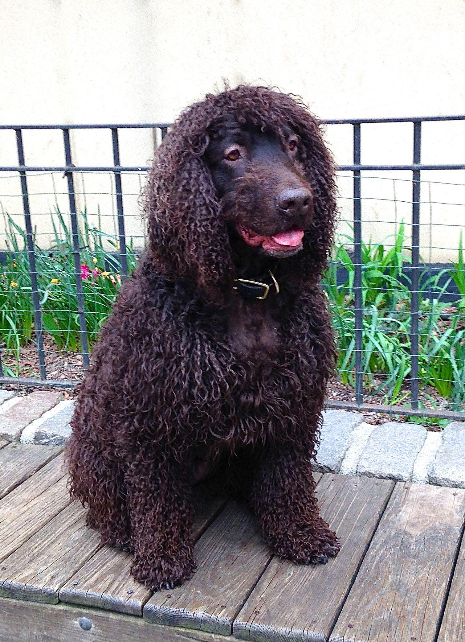 Andrea arden dog training irish water spaniel dog