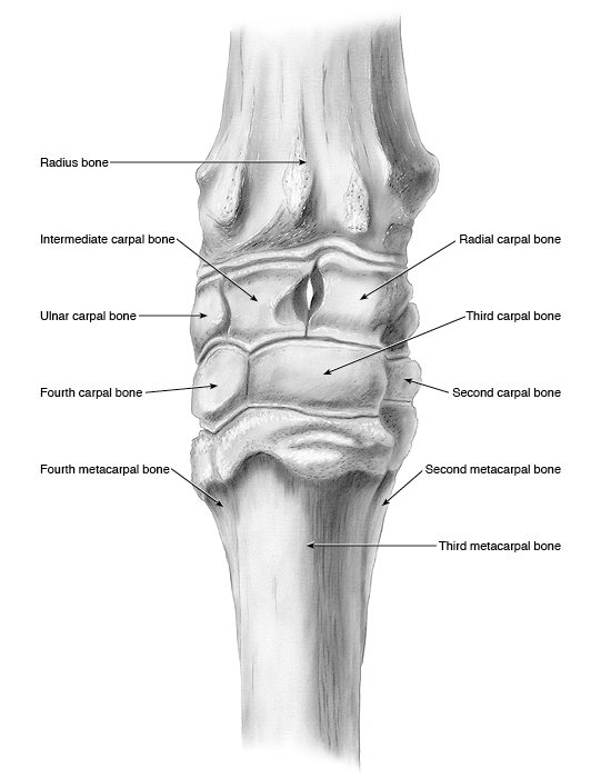 Horse joints anatomy