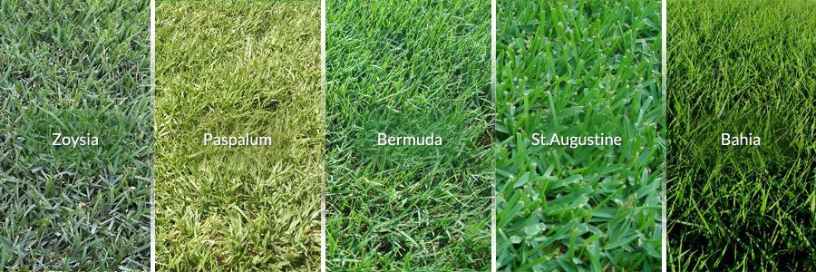 Grass Type Comparison Bermuda St Augustine Zoysia Buffalo In 2020 Grass Type Lawn Grass Types Dethatching Lawn