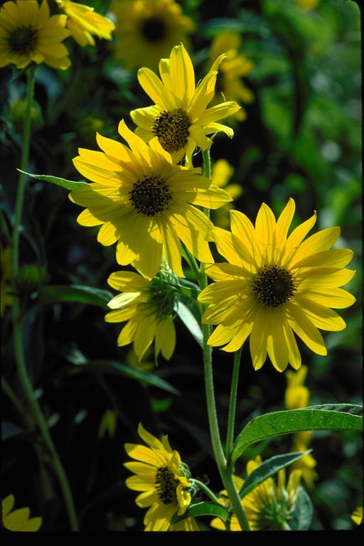 Maximilian Sunflower Botanical Name Helianthus Maximiliani Plant Type Perennial Plant Form Upright Light Required Full Sun Water Demand Low Medium Pl