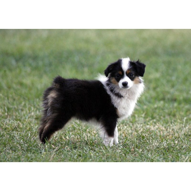 Toy Aussie Pups Puppies For Sale Toy Australian Shepherds In