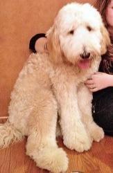 Va Zev Is An Adoptable Standard Poodle Dog In Woodbridge Va