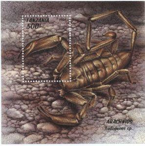 Scorpion (Hadogenes sp.)