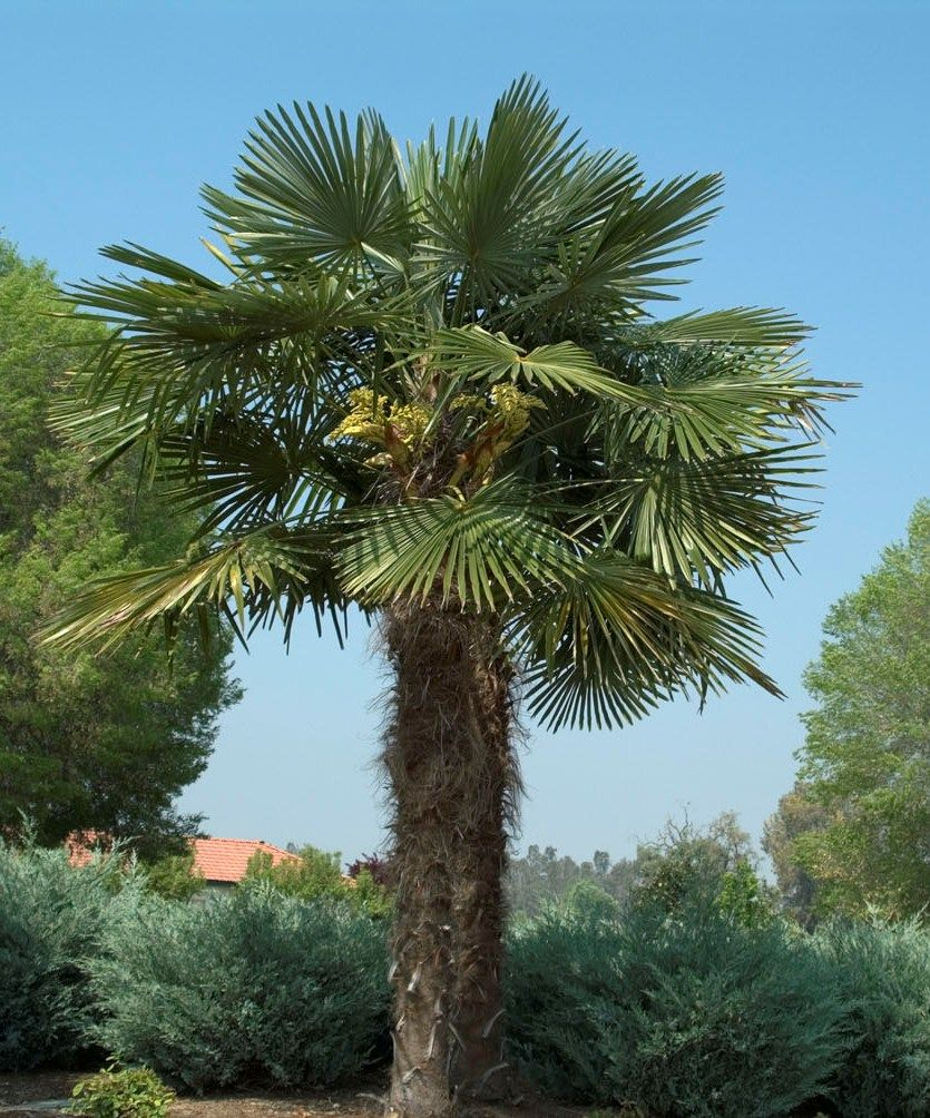 Windmill Palm - Monrovia - Windmill Palm | Backyard Oasis ...