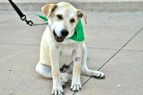 Buddy Labrador Retriever Mix Young Male Large Hillcrest