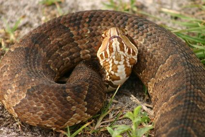 How To Identify A Water Moccasin Snake Information Snake Water Moccasin Snake