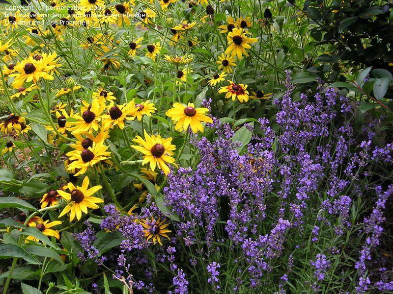 Companion plant for lavender garden ideas pinterest for Garden design ideas lavender