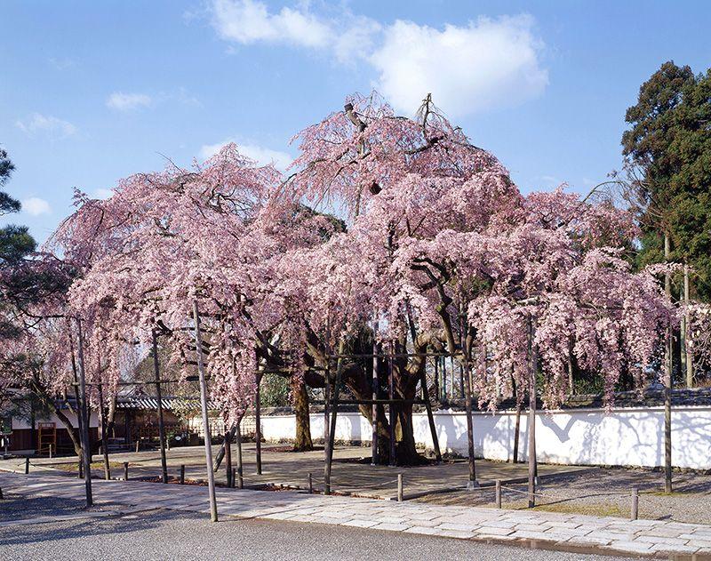 醍醐寺 三宝院太閤しだれ桜  #京都 #春 #kyoto #spring #japan