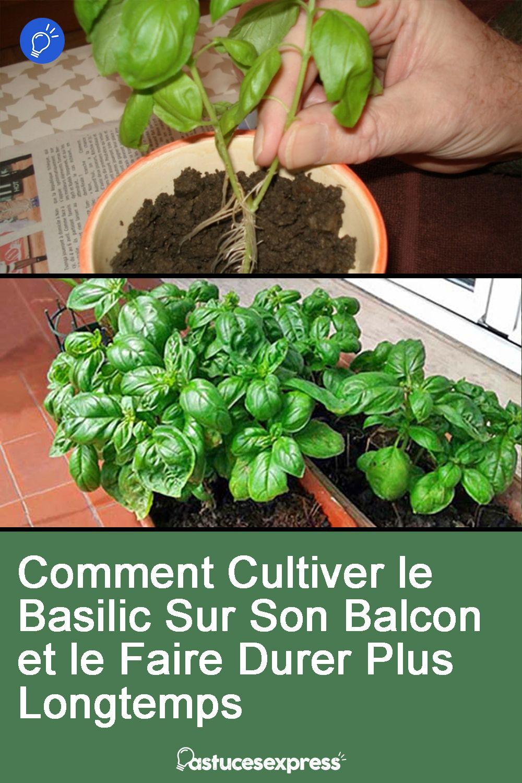 Comment Bien Faire Pousser Du Basilic comment cultiver le basilic sur son balcon et le faire durer