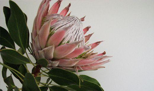 Flowers Native Australia Related Keywords Suggestions Flowers Native Australia Long Ta Australian Native Flowers Australian Wildflowers Flower Illustration