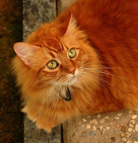 Most Beautiful Cat Most Beautiful Orange Cat Blog