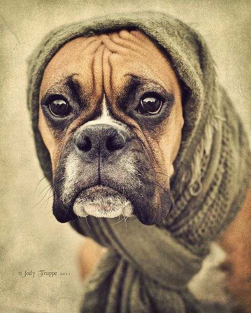 Babushka boxer- what is it about a boxer face that makes them so adorable to dress up!? Lol