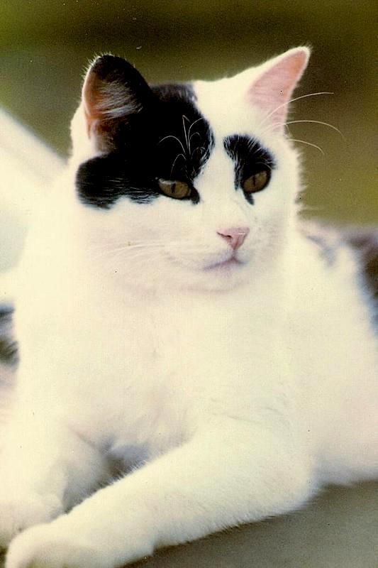 Image result for white cat with black spot on head breed