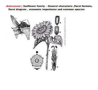 Asteraceae Sunflower Family General Characters Floral Formula Diagram Economic Importance Raw Dog Food Recipes Crochet Blanket Vintage Dog Food Brands