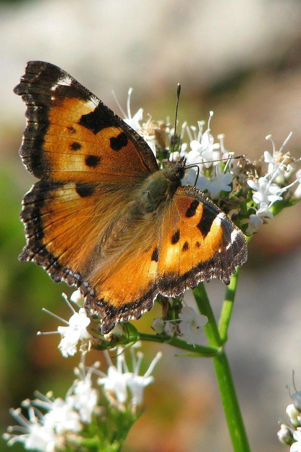 Orange California Tortoiseshell Butterfly (By Frank Townsley)