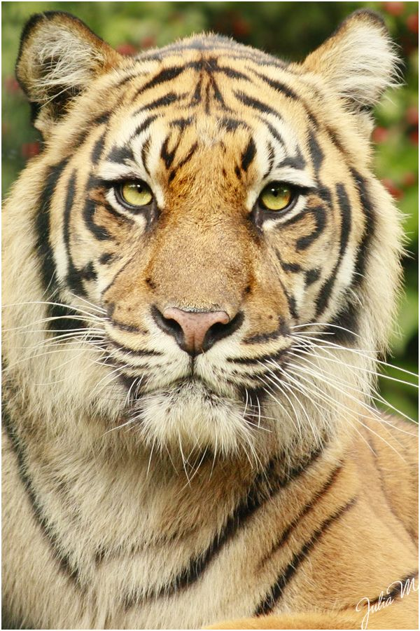 Tiger - Tigers once ranged widely across Asia, from Turkey in the west to  the eastern coast of Russia. Over the past 100 years, they have lost 93% of  their ...