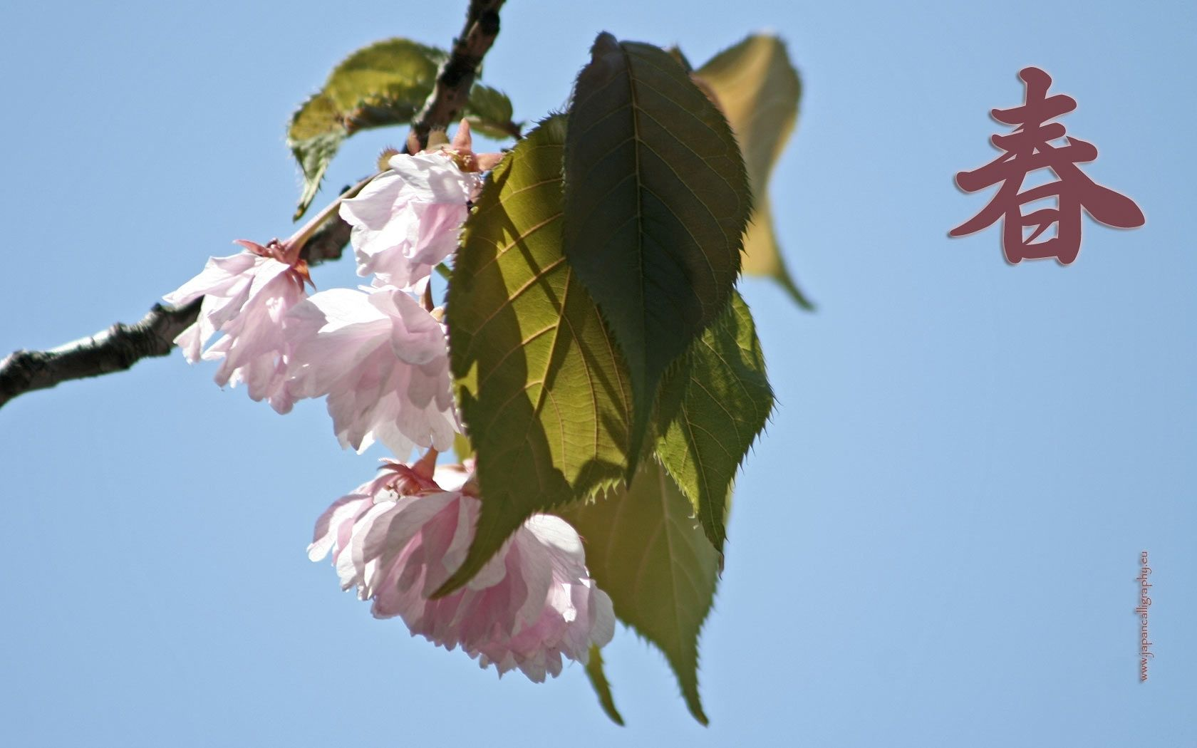 The cherry blossom (sakura) is Japan's unofficial national