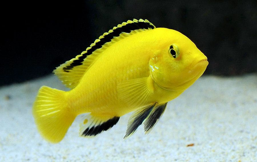 Labidochromis Caeruleus Lion S Cove I Electric Yellow 5 African Cichlid Aquarium African Cichlids Cichlids