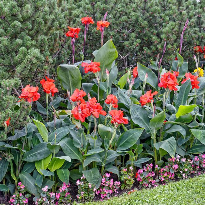 Najpopularniejsze Rosliny Bulwiaste I Klaczowe Uprawa Pielegnacja Zastosowanie W Ogrodzie Murator Pl Plants