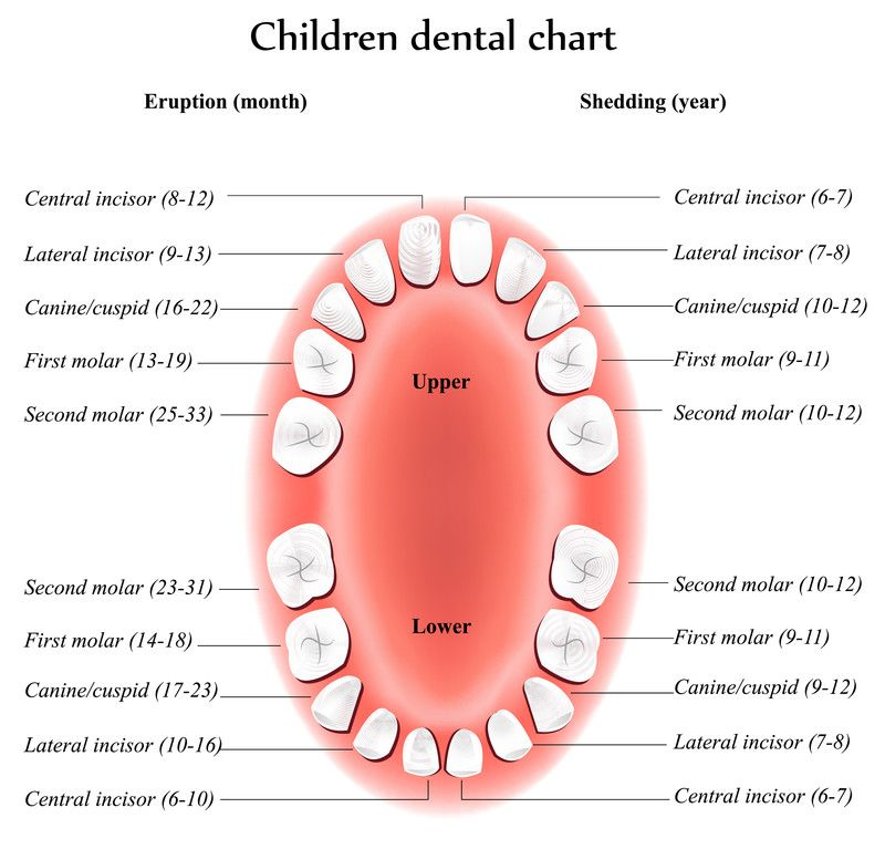 Baby Teeth Chart All Parents And NanaS Need This  For The Kids
