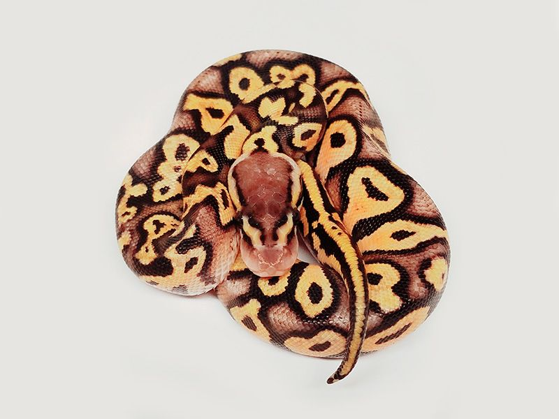 Pastel Toxique Yellow Belly - Morph List - World of Ball Pythons
