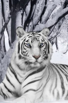 Free White Tiger Wallpaper for your Smartphone and Mobile