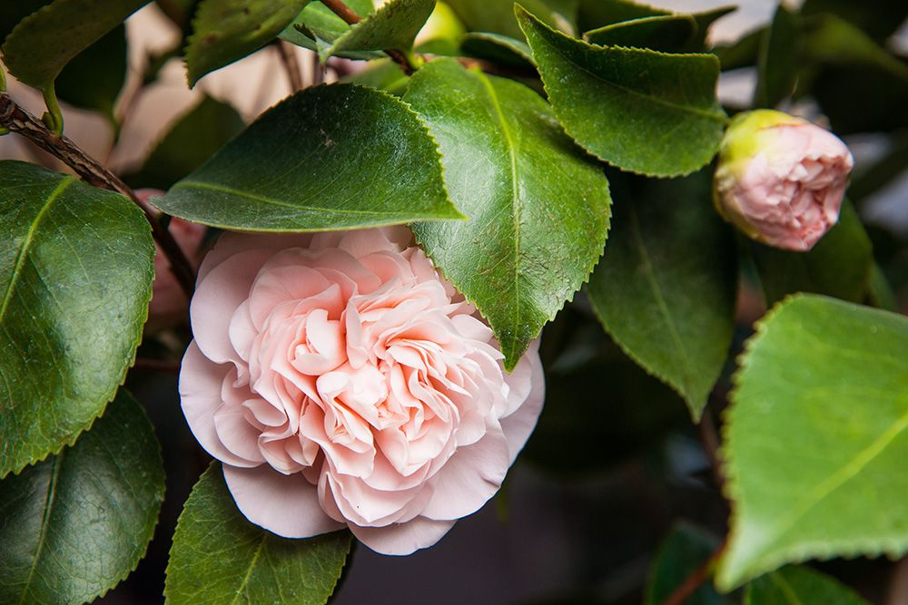 Debutante Camellias Debut In Fall Trees To Plant Flowers Pink Flowers
