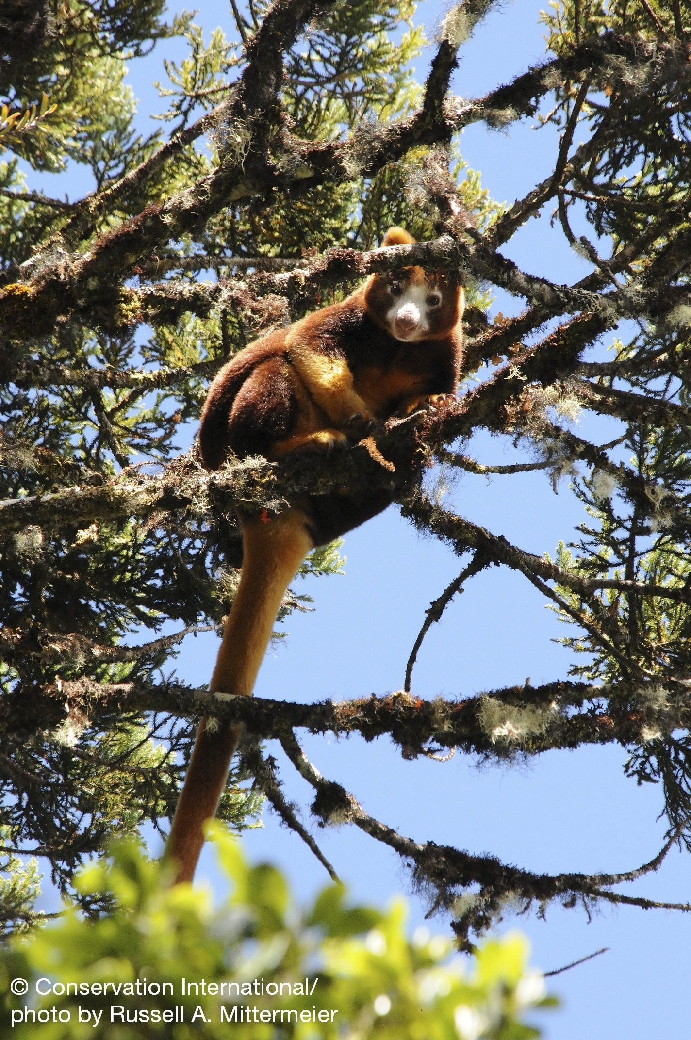 A female matschies tree kangaroo an endangered species native to a female matschies tree kangaroo an endangered species native to the huan peninsula of papua papua new guineaendangered sciox Images