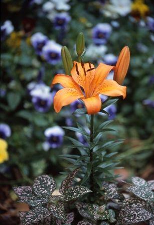 Hadeco - Pixie Lily