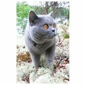 Photo of Publicación de Instagram de British Shorthair Loves • 2 de noviembre de 2017 a las 10:30 p.m. UTC …