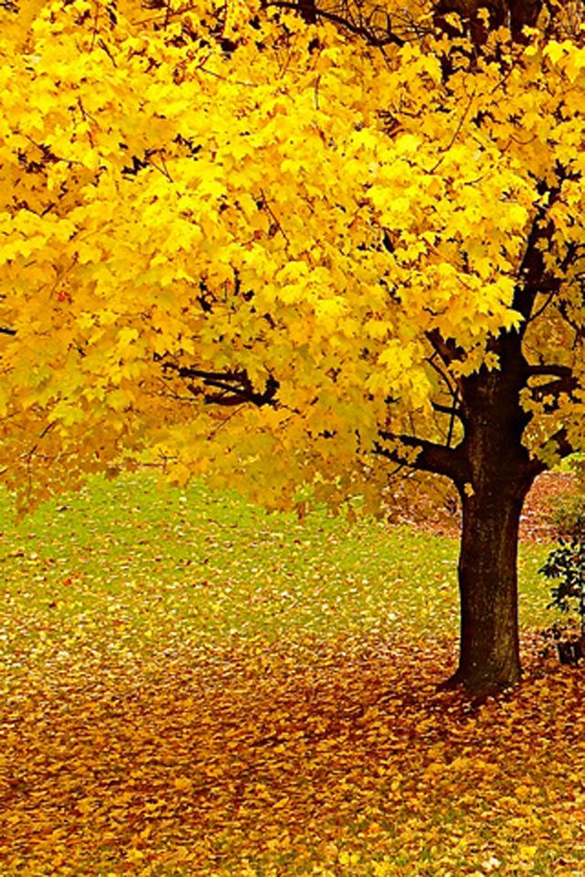 Autumn Tree Iphone Wallpaper Hd Autumn Trees Autumn Scenery Yellow Tree