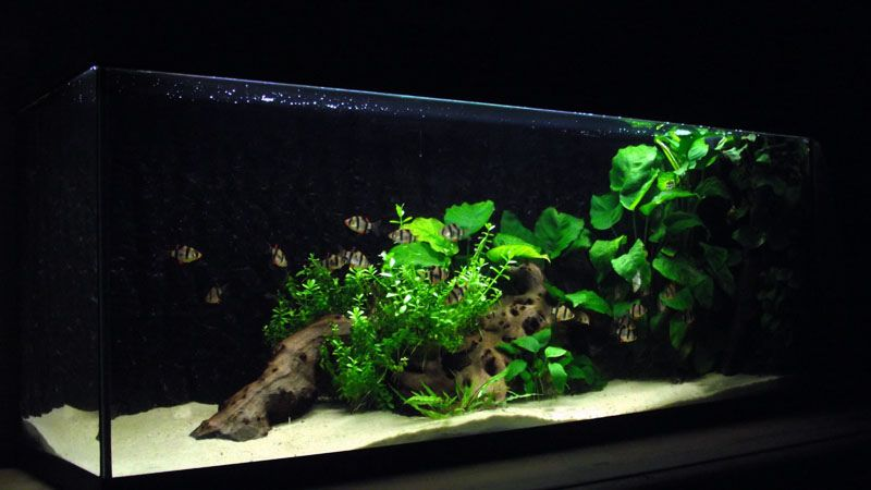 Tigerbarbs 2011 10 31 latest aquascape andrewsmith76 for Freshwater fish tank setup