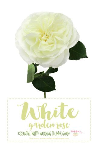 Essential white wedding flower guide names types pics birds white wedding flowers the gorgeous alabaster garden rose click here for 20 white mightylinksfo