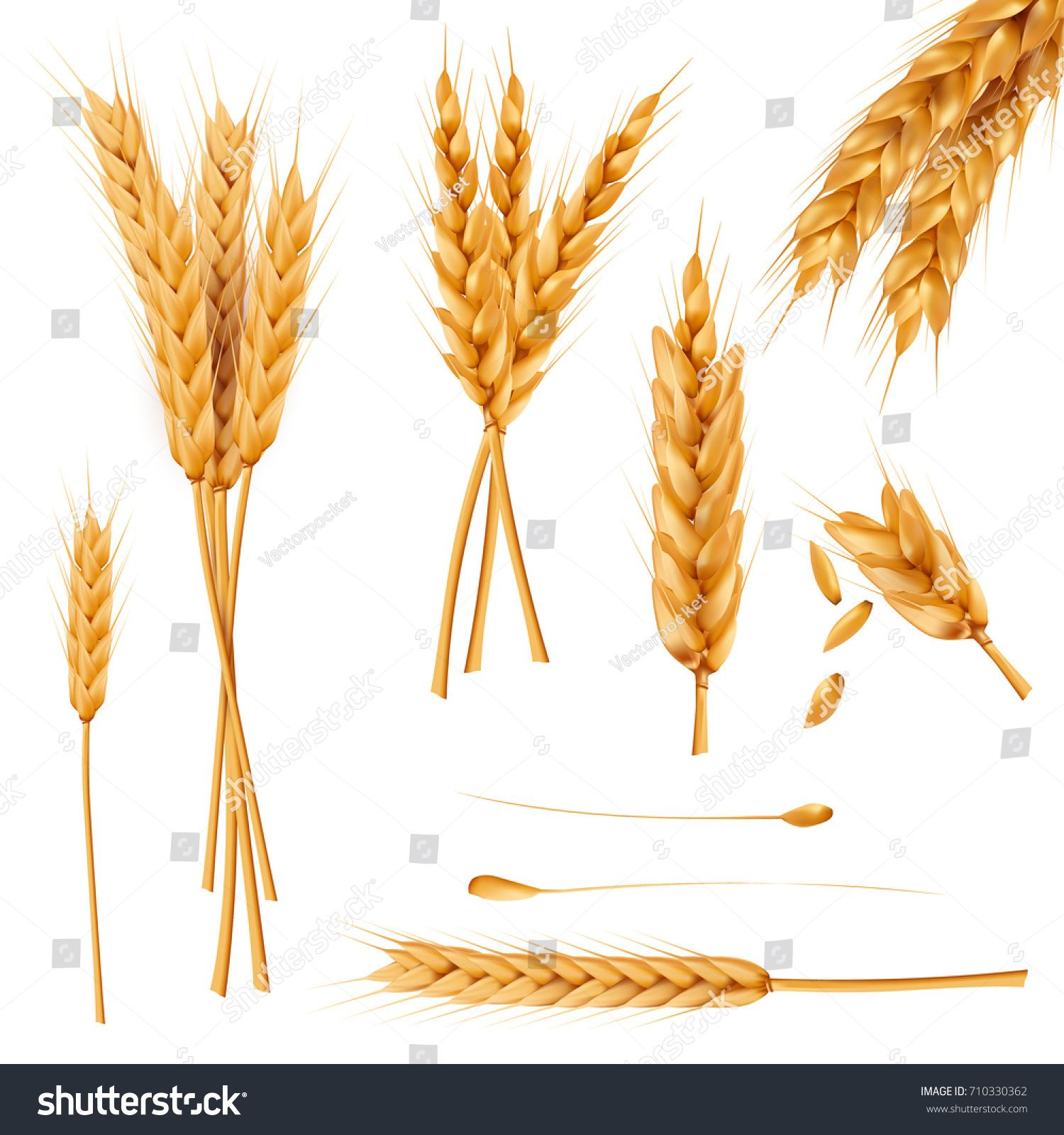 Bunch of wheat ears, dried whole grains realistic vector