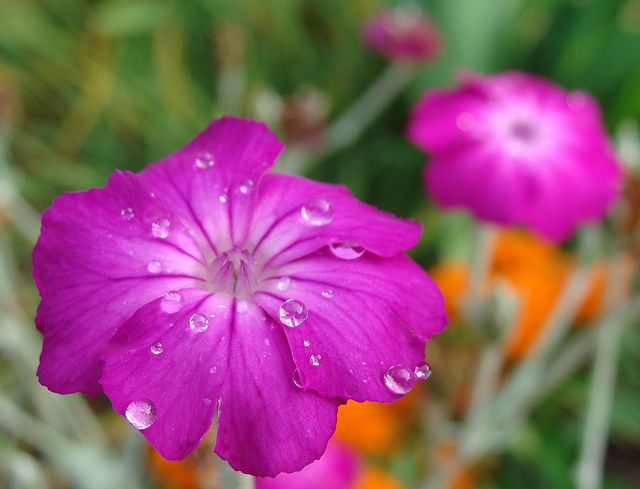 """Rose Campion (Silene cornaria) plants grow about 2 feet, or 2/3 of a meter, in height. They have gray-colored leaves and stems, and these magenta (hot pink) flowers, which are about as wide across as my thumb's first joint, more or less.""  Re-seeding annuals"