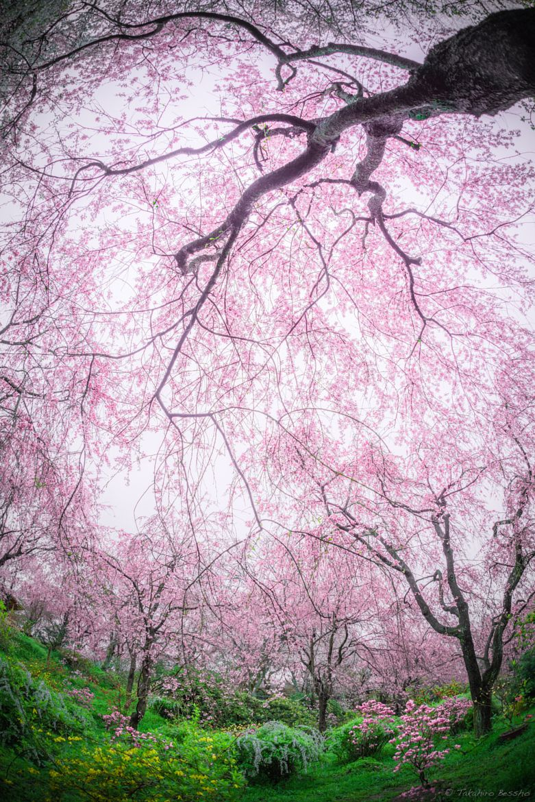 ~~Crack in your heart | springtime, in full bloom Japanese Cherry Tree | by Takahiro Bessho~~