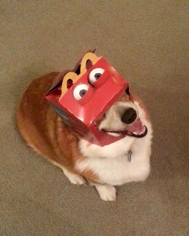 And when this corgi decided he was gonna have a great time no matter what dumb-ass things the humans put on his head: