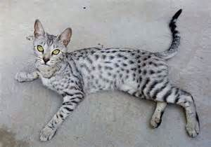 On Hold Pending Viewing F3 Silver Savannah Girl Bingley West Yorkshire Pets4homes Savannah Chat Savannah Cat F3 Savannah Cat