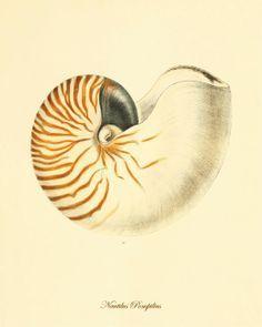 Sea shell art Vintage prints old prints Ocean Decor ocean life Natura…